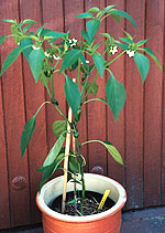Das Tolle am Chili Anbau: Auch nachdem sich Früchte gebildet haben, produzieren Chilis - hier eine Jalapeno- Pflanze - den ganzen Sommer über Blüten.