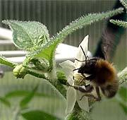 Hummeln, Bienen und Schwebfliegen zieht es ins Chili Gewächshaus