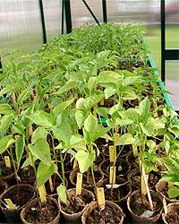 Im Chili Gewächshaus können Pflanzen wetterunabhängig umgetopft werden.