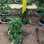 High-tech Chili Gewächshaus: Computergesteuerte Bewässerung.