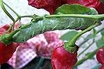 Der Tomaten- Hornwurm stellt ein Problem im Chili Anbau dar.