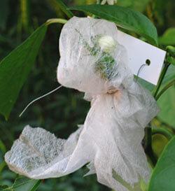 Isolierung einzelner Blüten im Chili Anbau