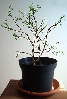 Bereits vor der Überwinterung kann im Chili Anbau die Pflanze zurückgeschnitten werden wie bei dieser Ulupica-Pflanze im 2. Jahr.