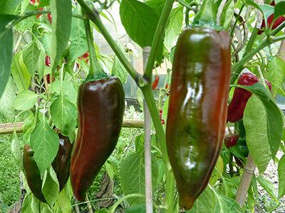 Chili-Sorten Anbau -Ideen für die neue Saison