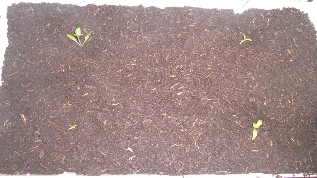 Pflanzen zur weiteren Kultivierung in der Green Unit