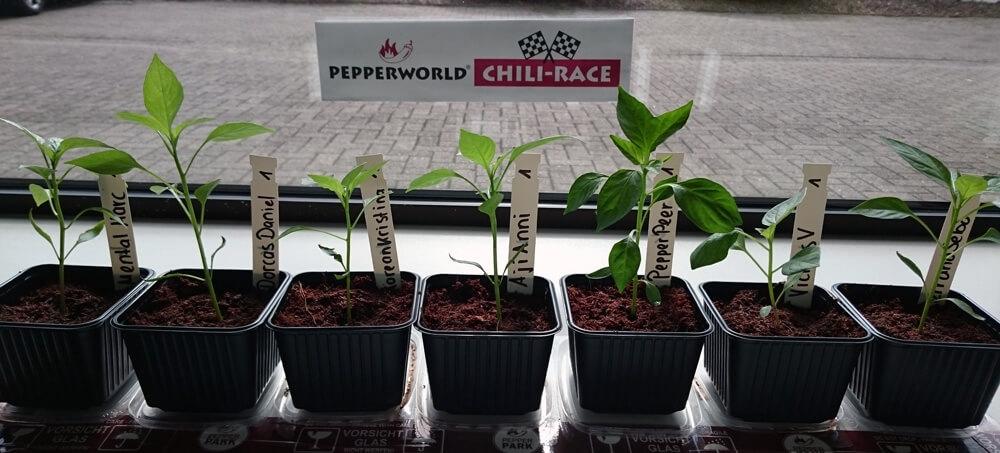 Chilis-züchten-im-Büro_Das-Qualifying