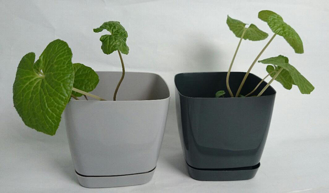 Die Wasabi-Pflanzen 2 Wochen nach Erhalt