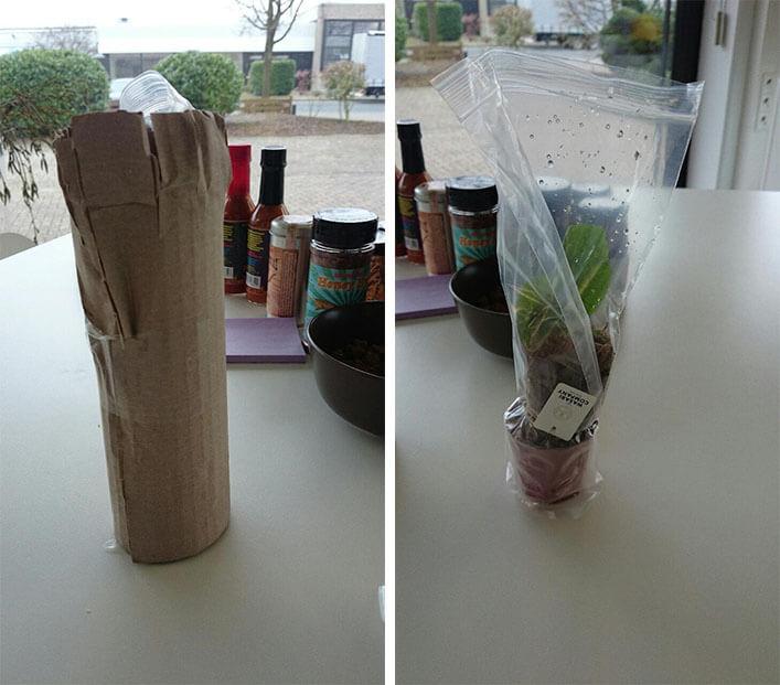 Wasabi-Pflanze
