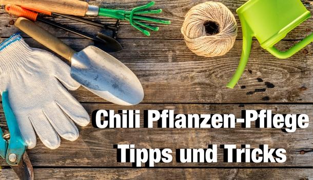 Chili Pflanzen Pflege Tipps und Tricks