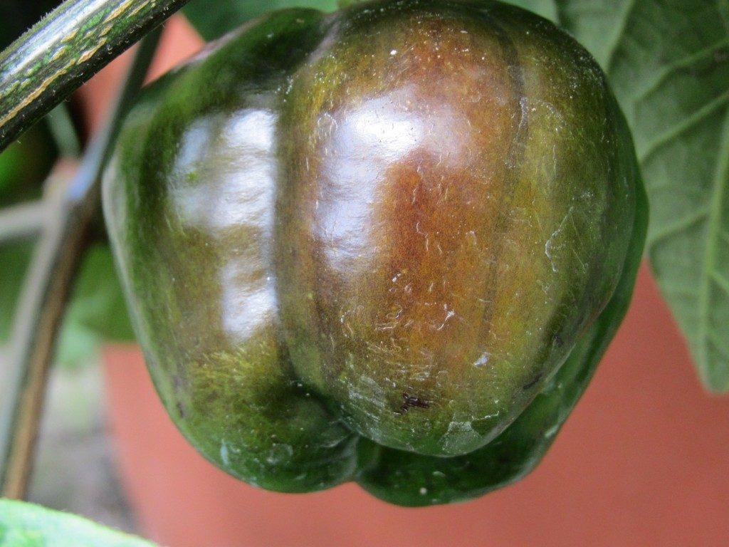 Chili Pflanzen im Herbst - 3 Tipps damit die Chilis noch reif werden