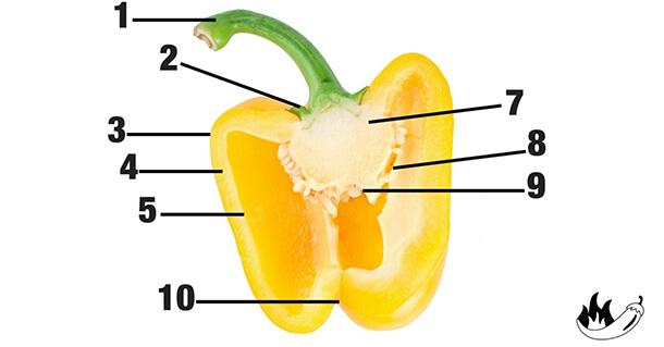 Die Form von Chilis und Paprika