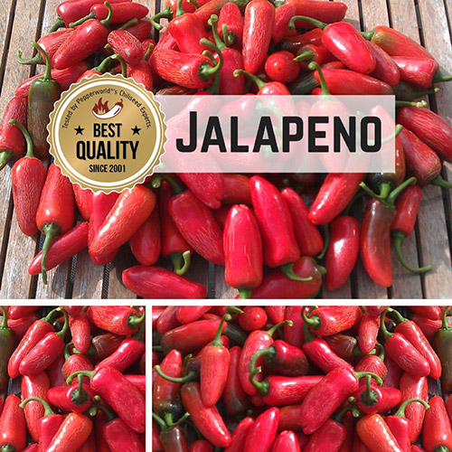 Jalapeno Bio Chilipflanze
