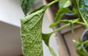 Hilfe, kleine Knubbel bilden sich an den Blättern meiner Chilipflanzen!